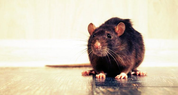 rodent removal services Phoenix